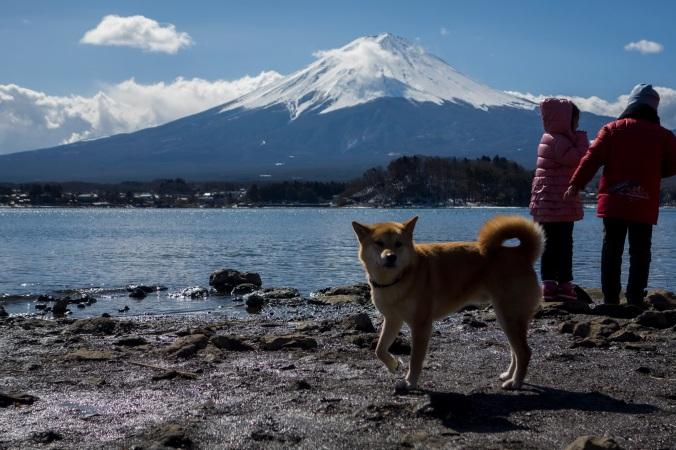 Un adorable Shiba qui pose.