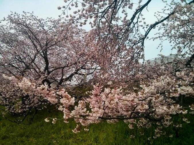 Tamagawa_2