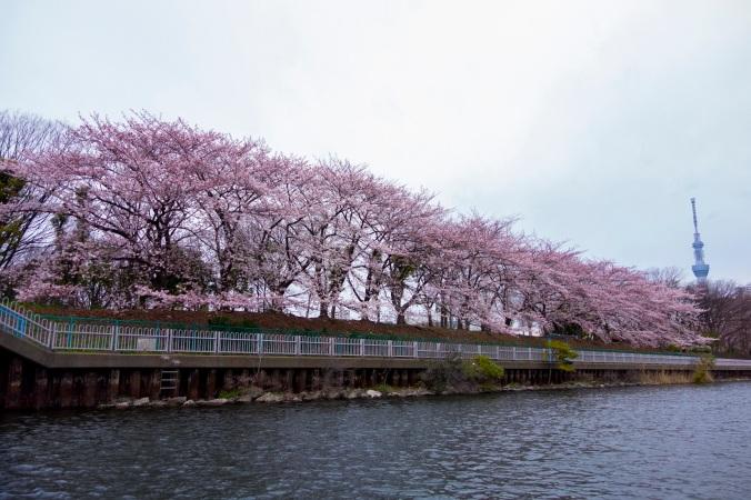 Cerisiers et Skytree, à Sumida