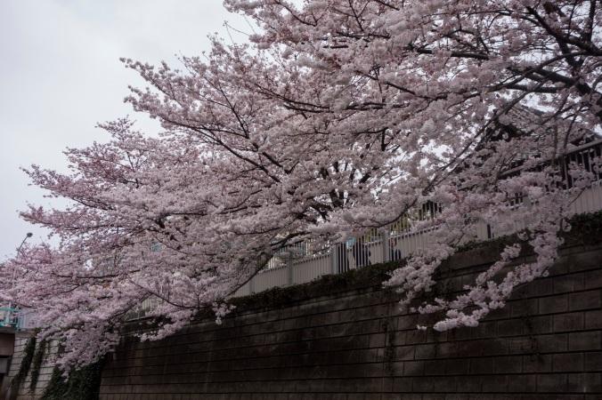 Sakura_21a