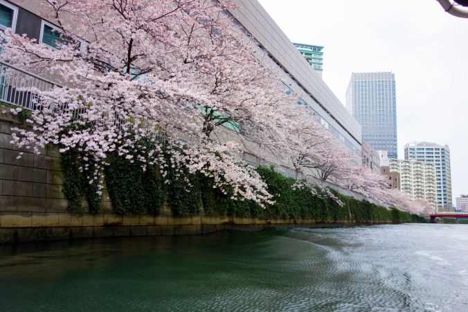 Sakura_32a