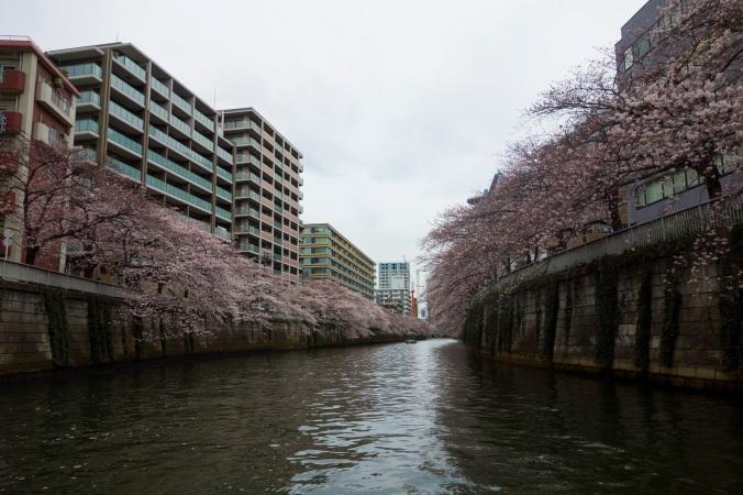 Sakura_34a