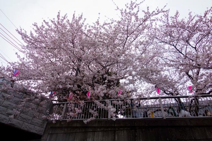 Sakura_36a