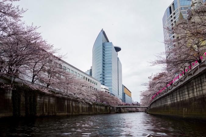 Sakura_41a