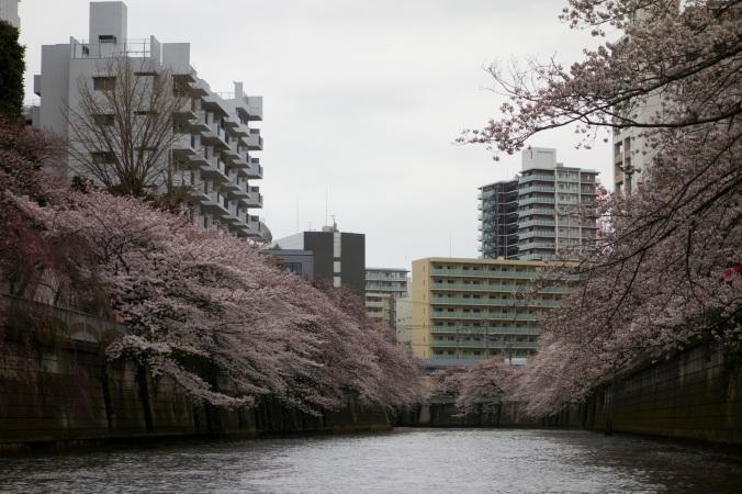 Sakura_43a