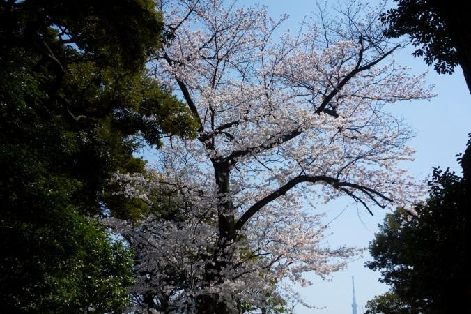 UenoSakura_1a