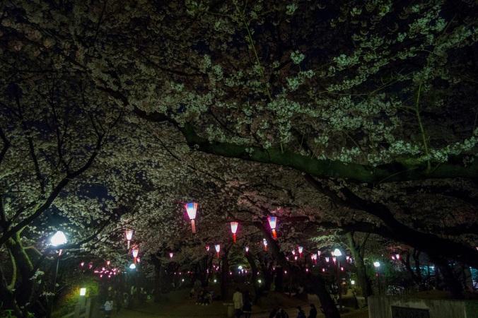SakuraNight_12a