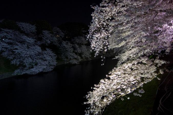 SakuraNight_23a