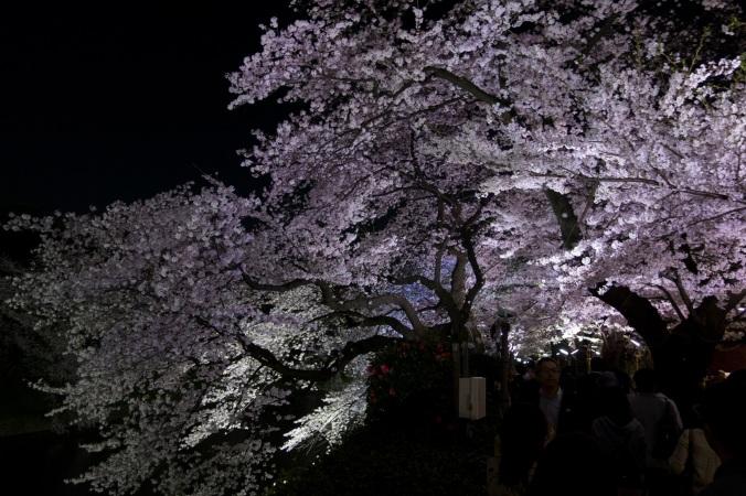 SakuraNight_29a